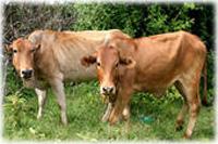 Las Vacas Flacas